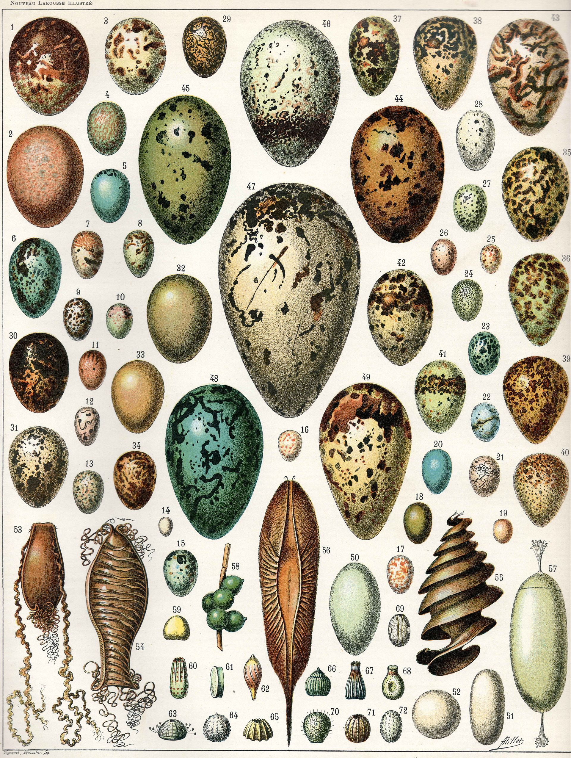Beautiful rendering of 72 kinds of eggs - Nouveau Larousse Illustré , edited by  Claude Augé , published in Paris by Librarie Larousse 1897-1904, this illustration from vol. 6 p. 473 - as seen on Wikipedia!