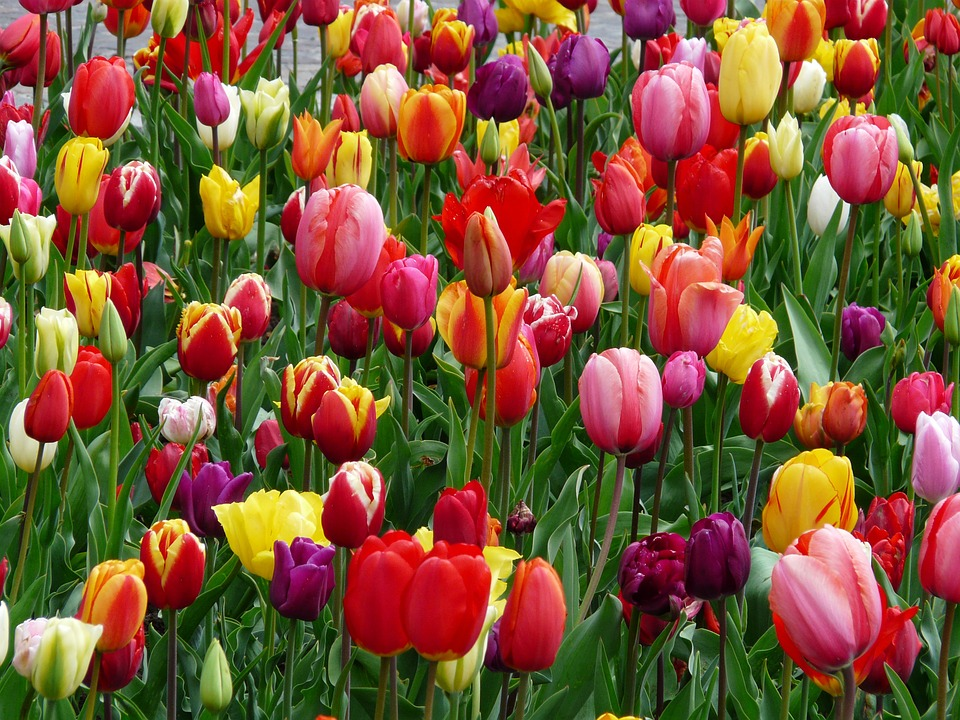 A great display of the variety of color and shape tulips have in the wild.