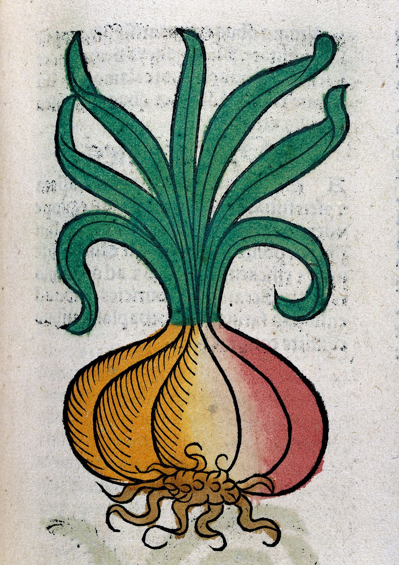 An_onion,_woodcut,_1547_Wellcome_L0029214.jpg