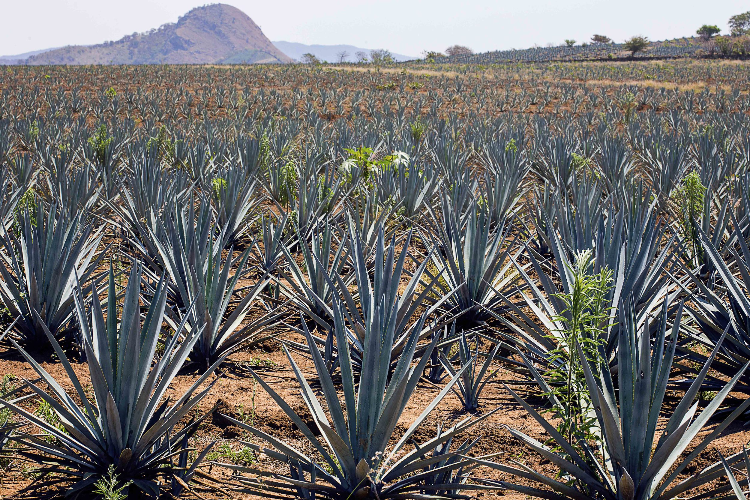 Day 72 - Tequila, Jalisco, MX   The blue agave fields that make my favorite drink.  Think of wine tasting in Napa Valley, Tequila version!  Get a tour guide to take you to some of the finest and oldest Tequilerias like Jose Cuervo, Sauza and 3 Mujeres in the town where this drink got it's name.  Don't forget to have a big breakfast before you start!