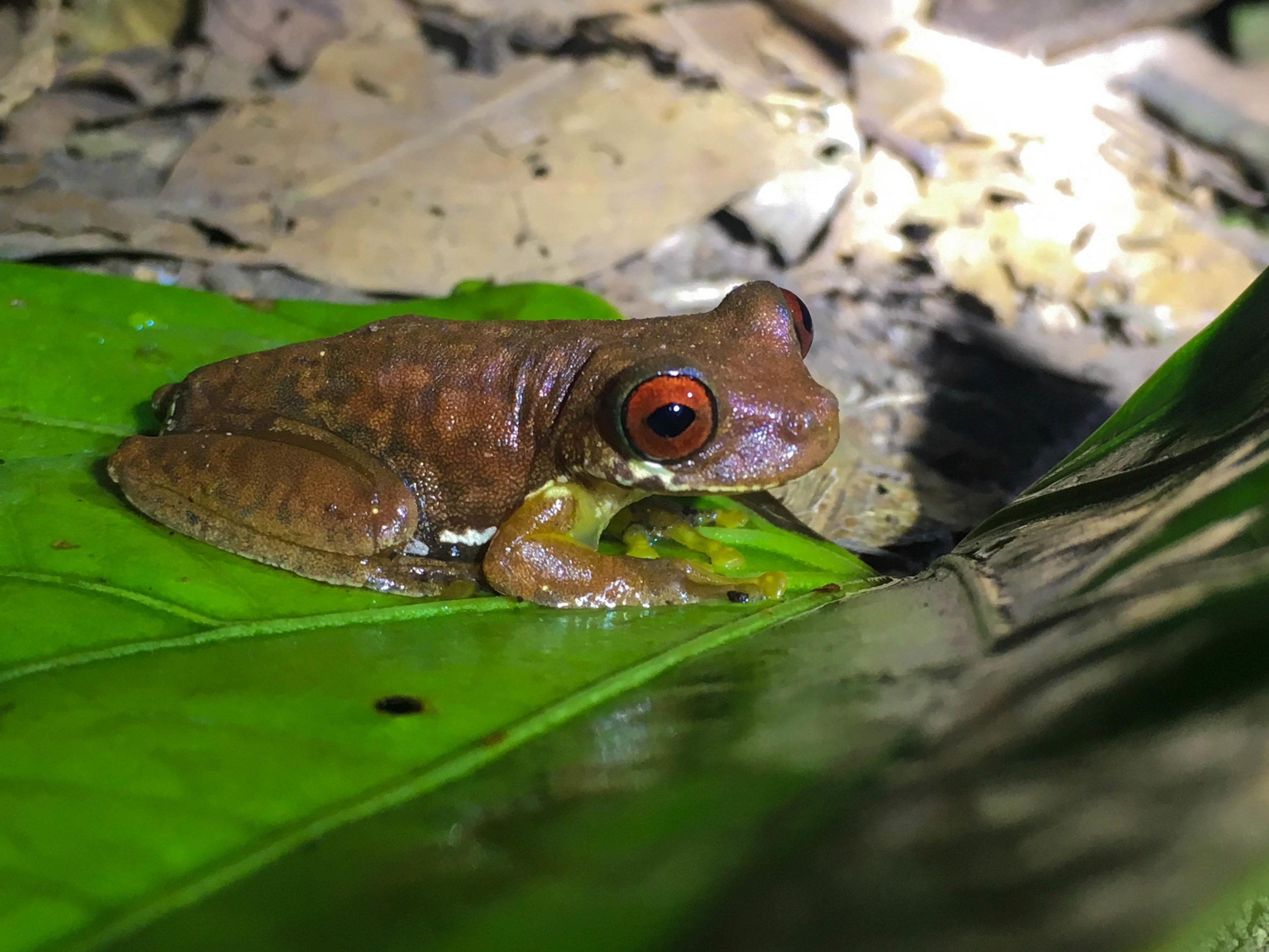Monteverde- night walk frog-NatalieNehlawi.jpg