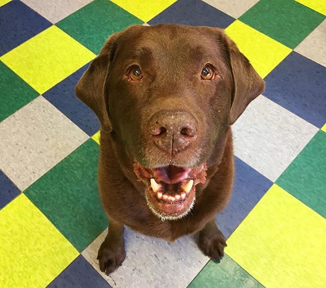 Hi, I hear it's National Cheeseburger Day. Not sure what that means, but I'm here for it. . . . . . . #nationalburgerday #burger #burgerrecords #dog #dogsofinstagram #phillydogschool #chocolate #chocolatelab #lab #phillydog