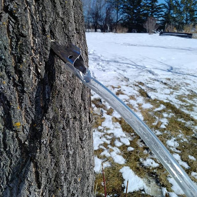 Tapping maples today! #tapthattree #yegfood #yegfarm #wildfood