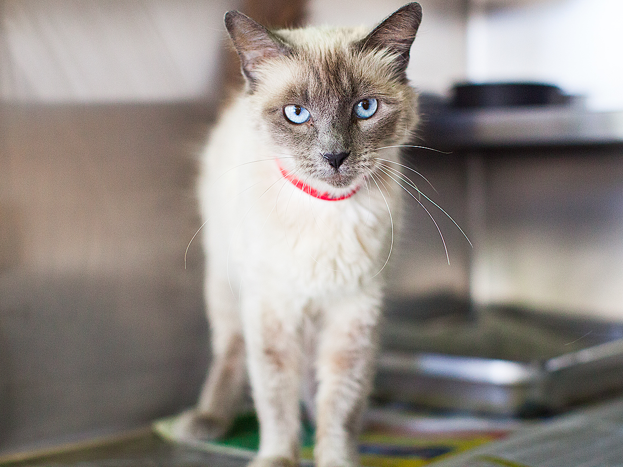 Available for adoption now at South Los Angeles Animal Shelter!