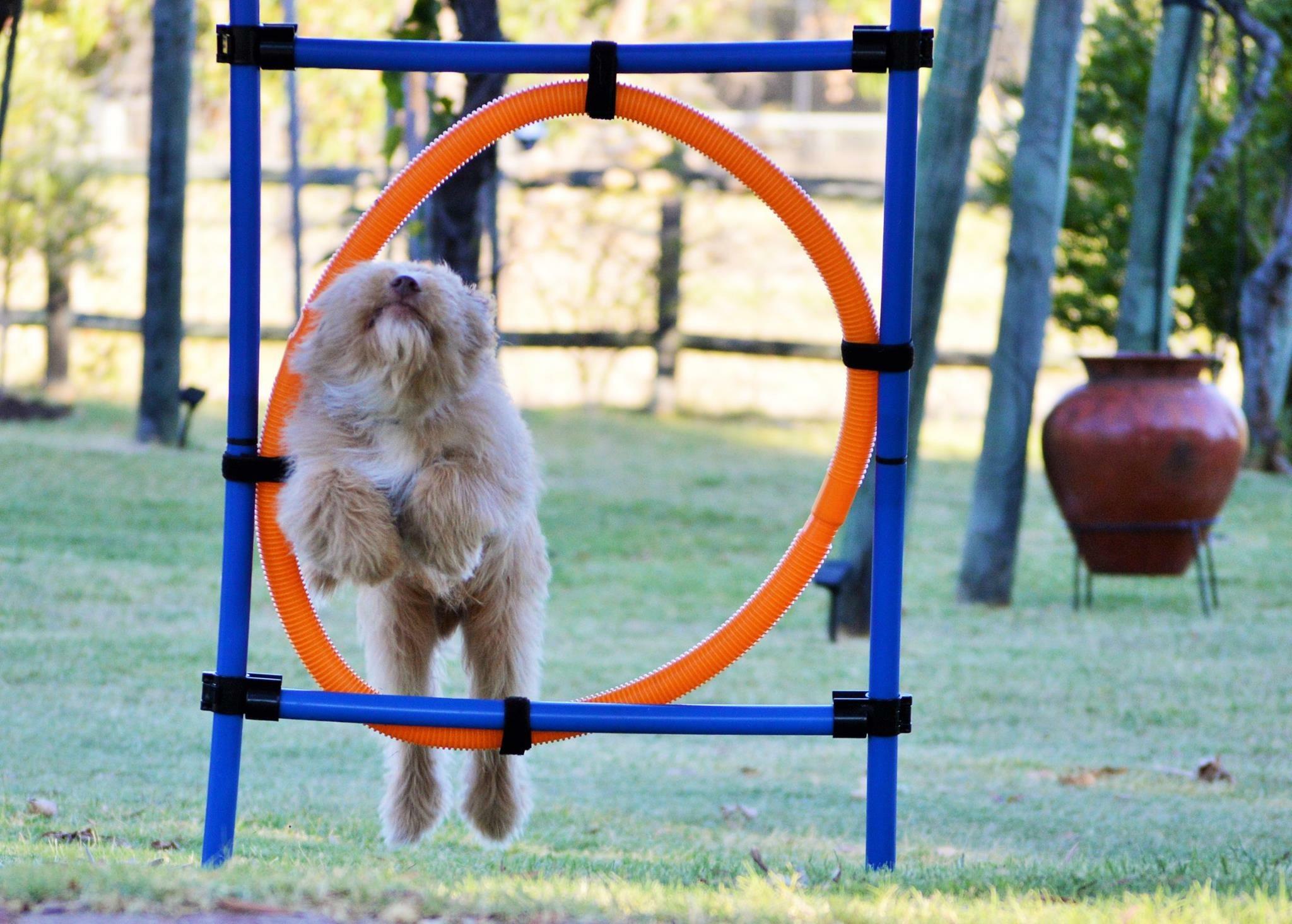 Bentley Agility Hoop Jump