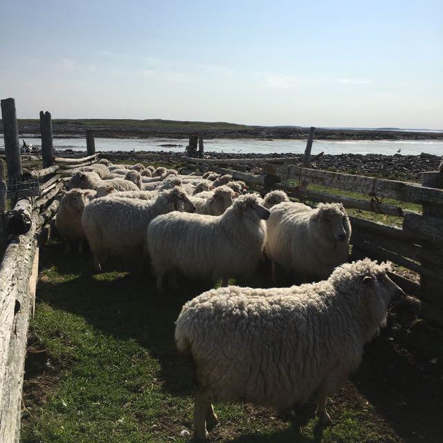 Spring Flock Before Shearing