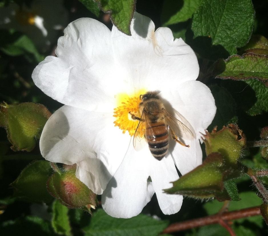 YES! HONEY BEE