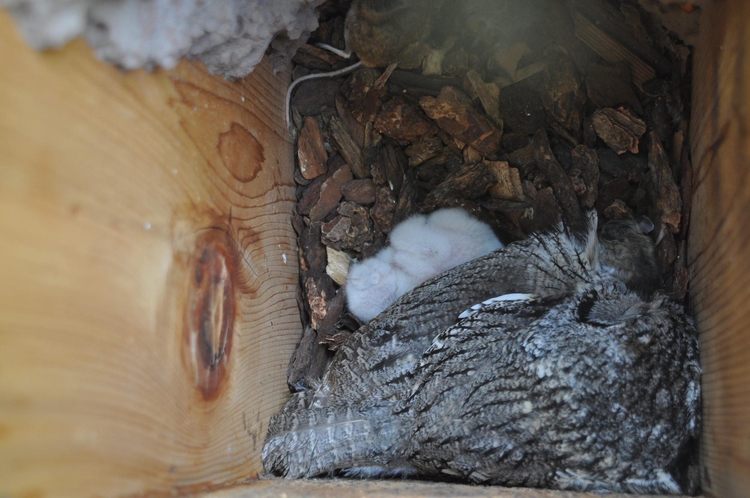 Western screech owls living below 1+ unknown species of mason bee.