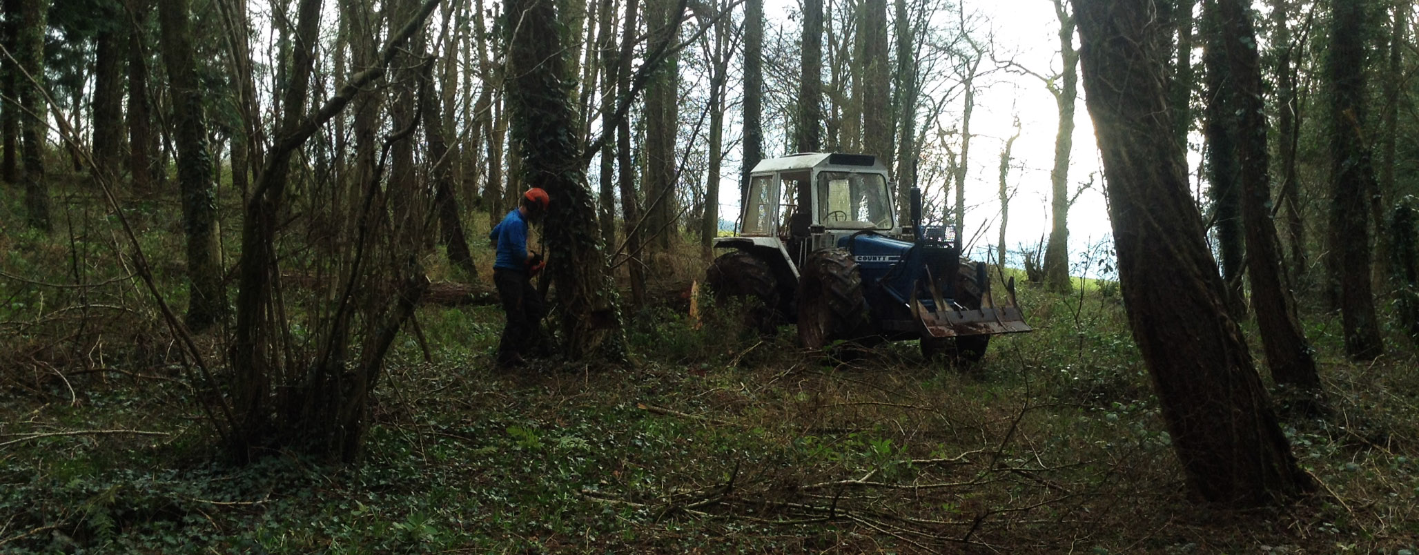 Felling larch in a local wood.
