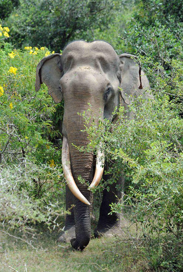 a.aaa-wild-elephant-of-sri-lanka.jpg