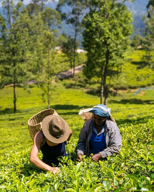 A beautiful afternoon plucking some tea leaves!⠀⠀⠀⠀⠀⠀⠀⠀⠀ 📸: @brianleahyphoto #MarryMeinSriLanka ⠀⠀⠀⠀⠀⠀⠀⠀⠀ .⠀⠀⠀⠀⠀⠀⠀⠀⠀ .⠀⠀⠀⠀⠀⠀⠀⠀⠀ .⠀⠀⠀⠀⠀⠀⠀⠀⠀ .⠀⠀⠀⠀⠀⠀⠀⠀⠀ .⠀⠀⠀⠀⠀⠀⠀⠀⠀ #srilanka #hightea #sarinotsorry @planthisproductions #destinationwedding #destinationbride #destinationido #srilankabride #srilankawedding #traveltheworld #passionpassport @shan_hoofilms #teafields