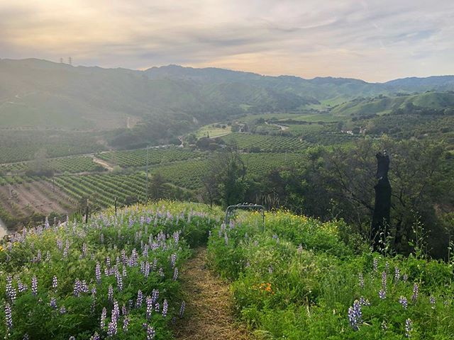 Last weekend at the top of the ranch in Santa Paula. You can still see the charred trunks and our ripped out orchards down below, but the flowers are as grand as everyone says. #thomasfire