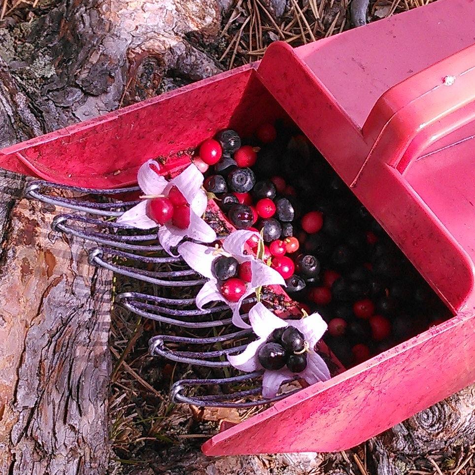 tyttebær og blåbær servert i storklokke blomster