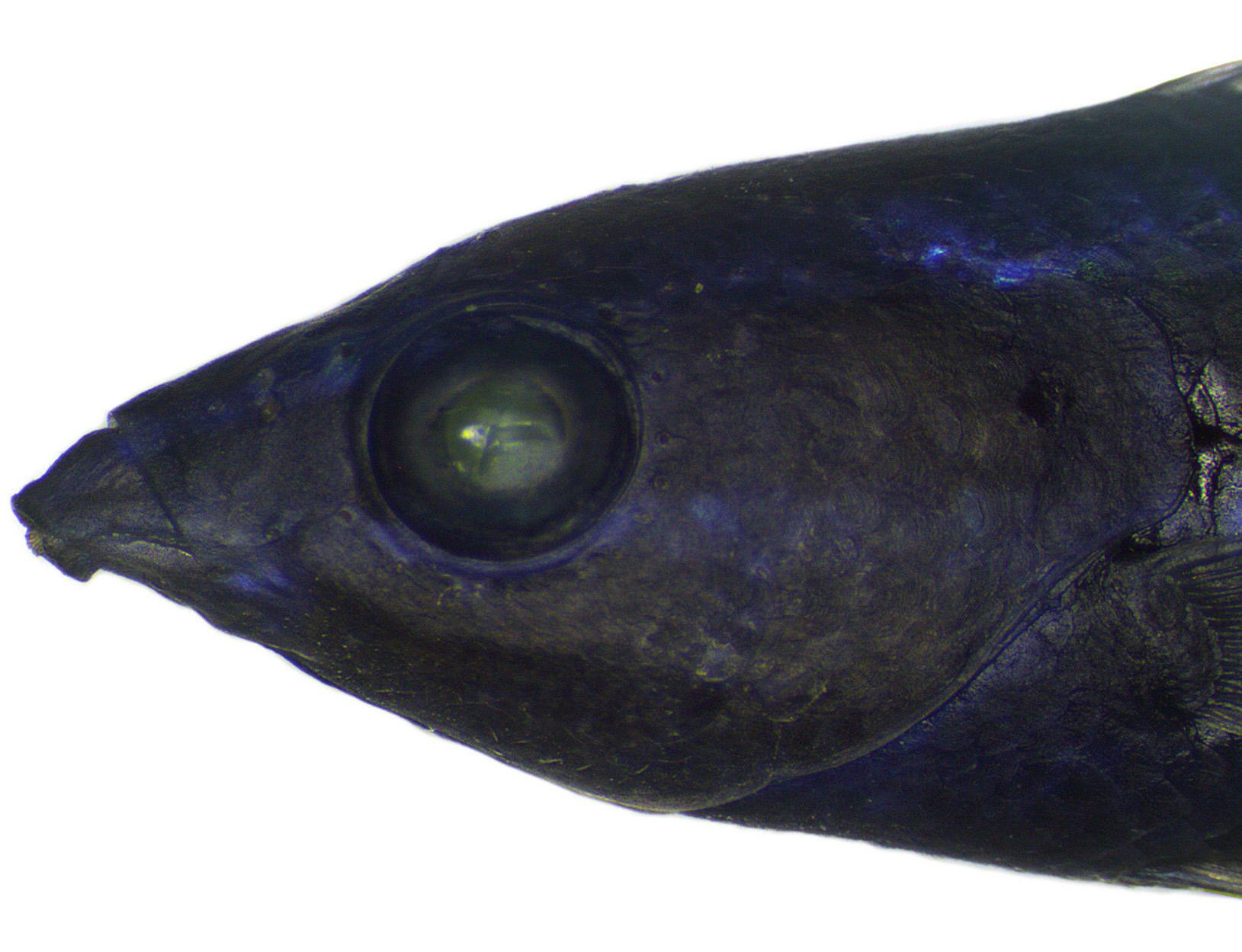 Larabicus quadrilineatus