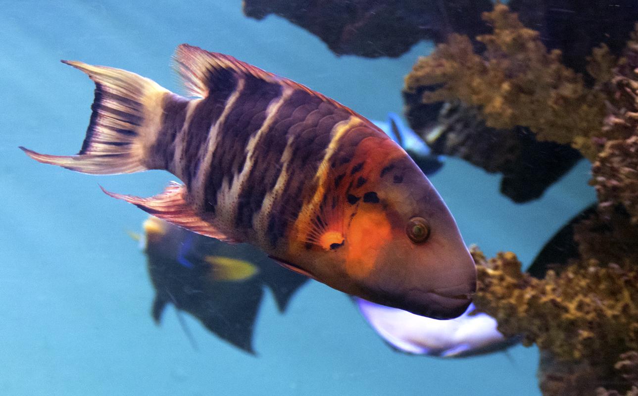 Cheilinus-fasciatus.jpg