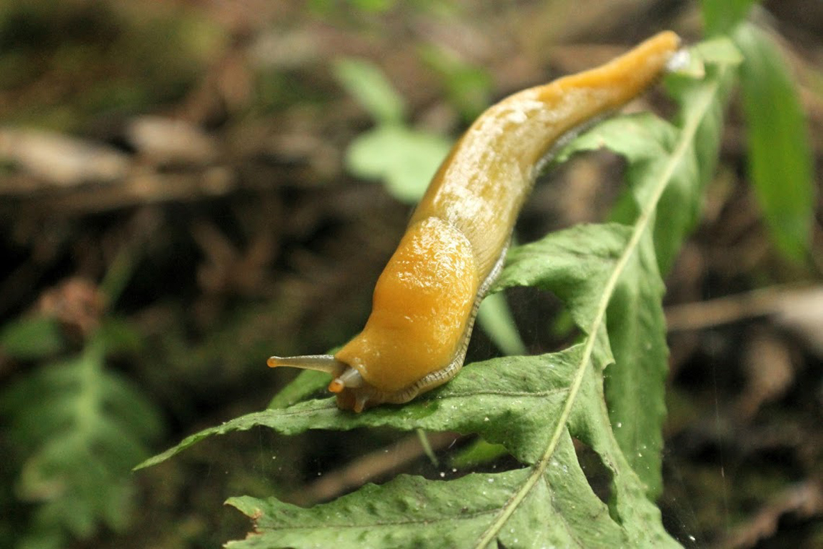 banana-slug-2.jpg