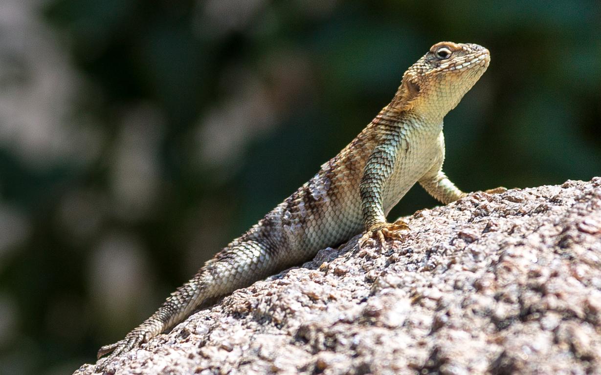 granite-spiny-lizard-sceloporus-orcutti-1.jpg