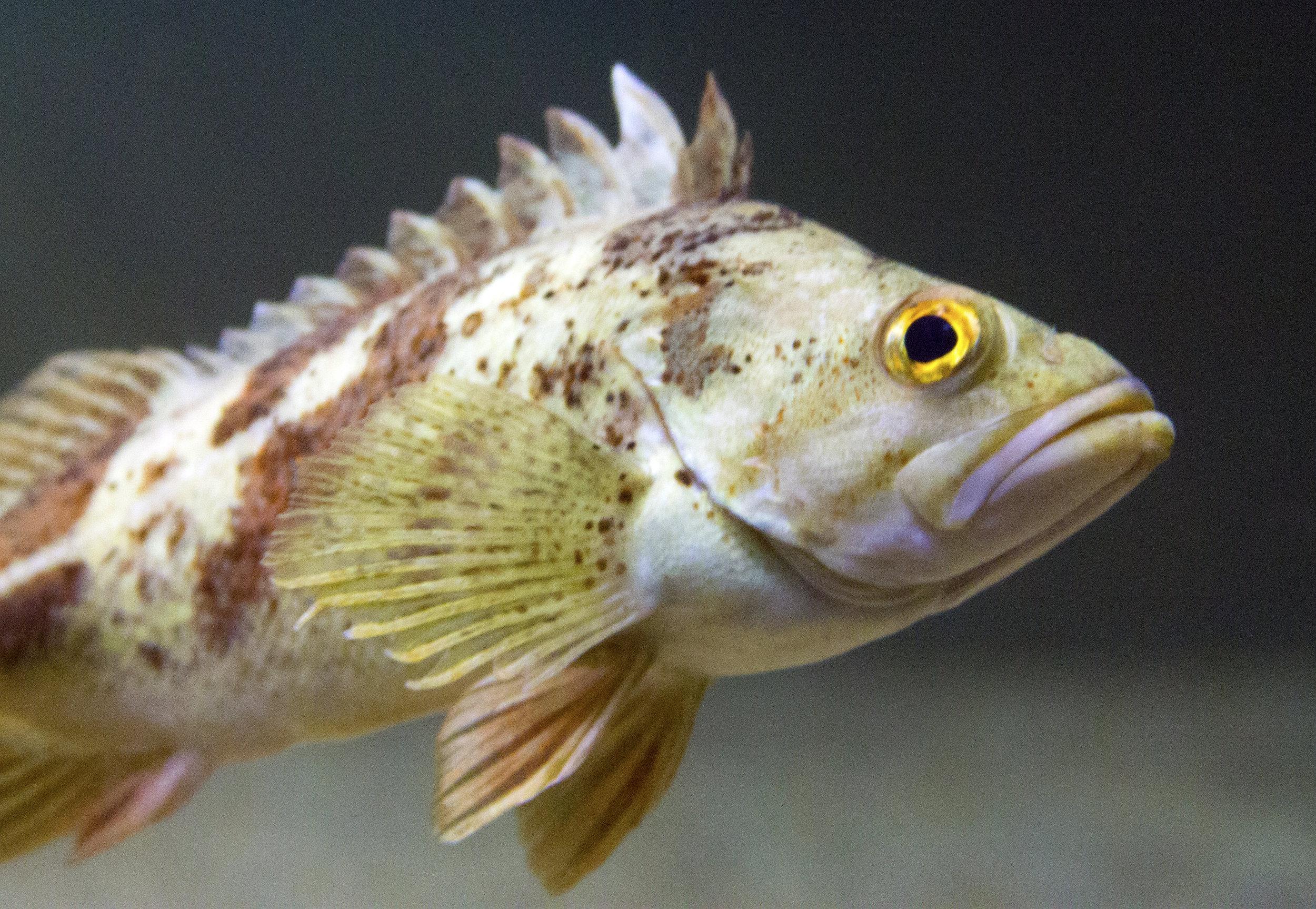 calico-rockfish.jpg