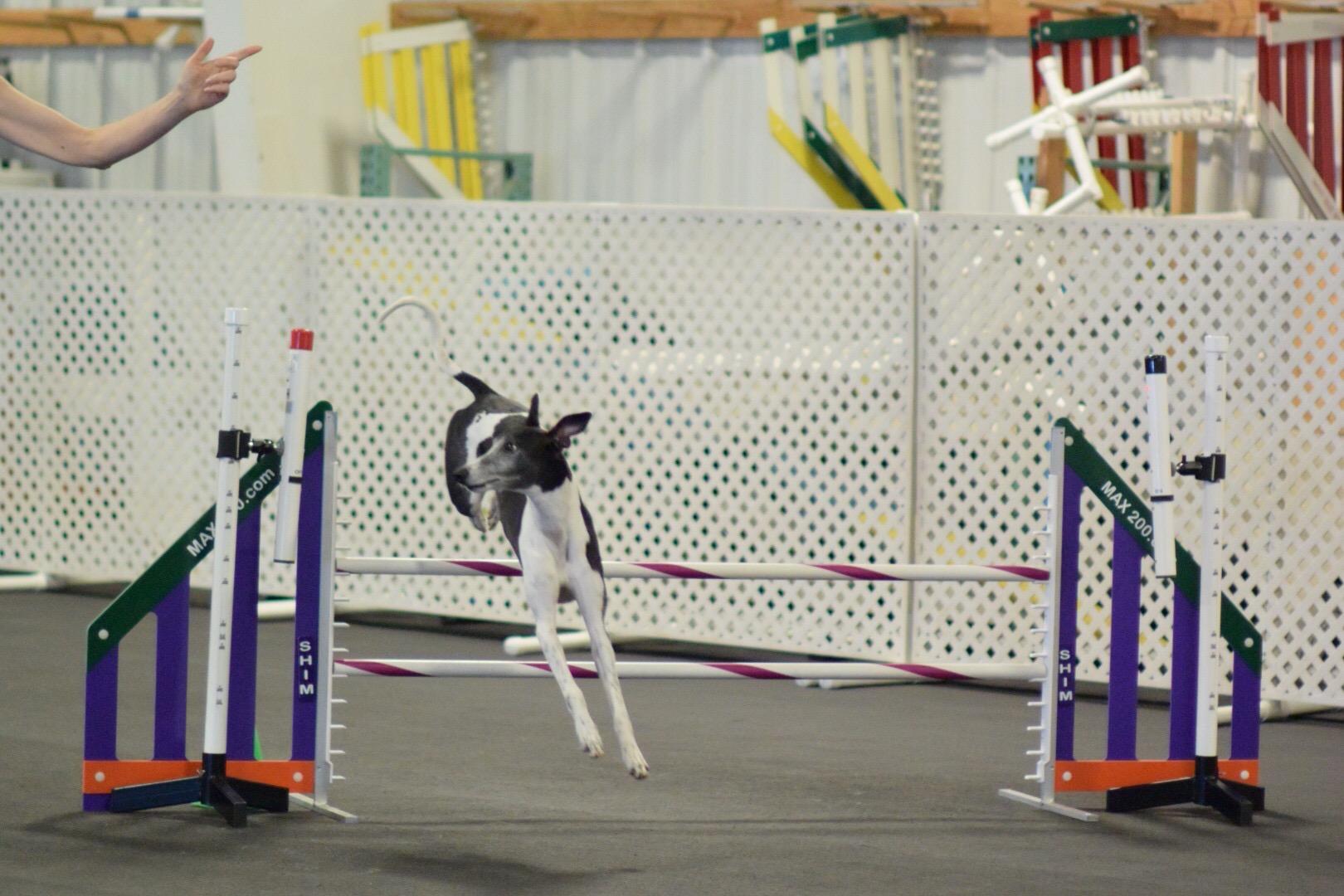 ital greyhound.jpg