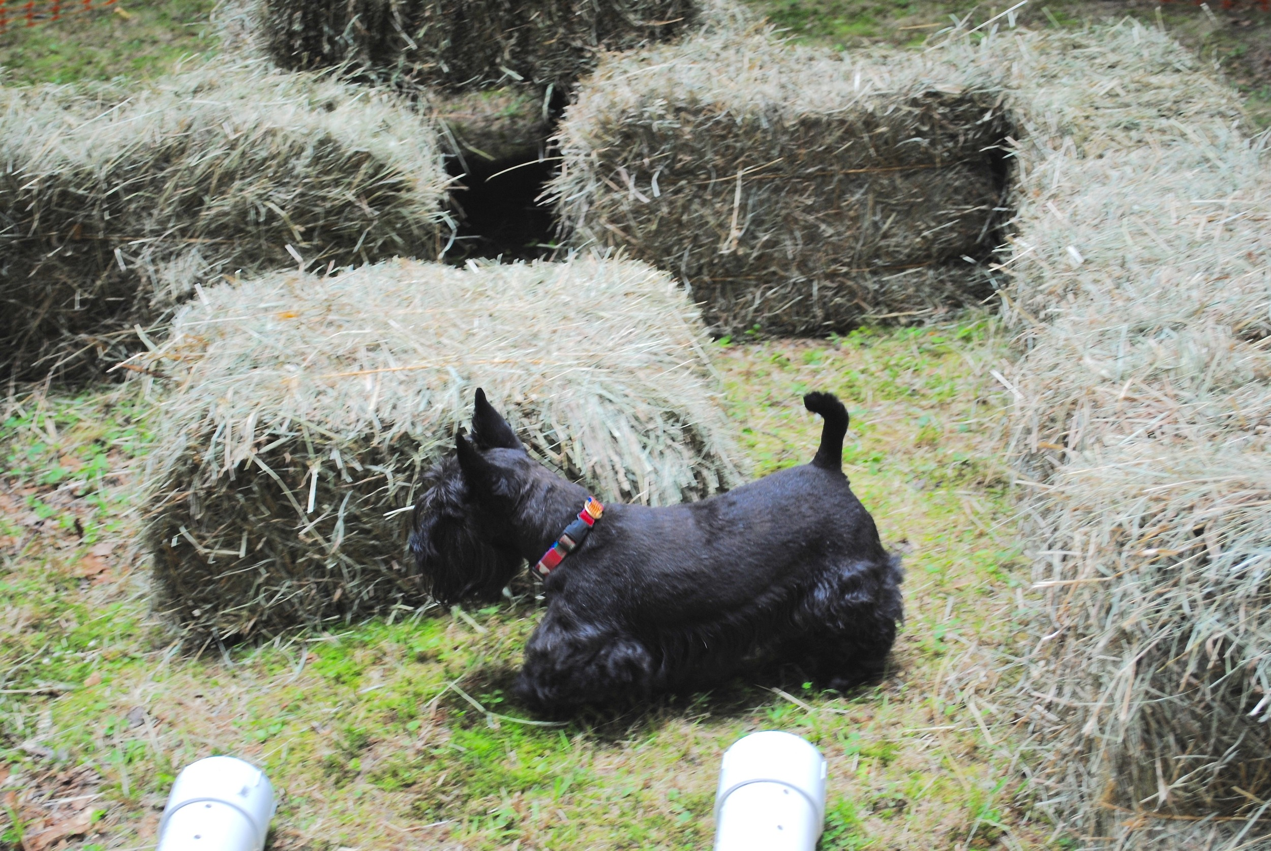 Barn Hunt  at the Doggie Fun Day in July
