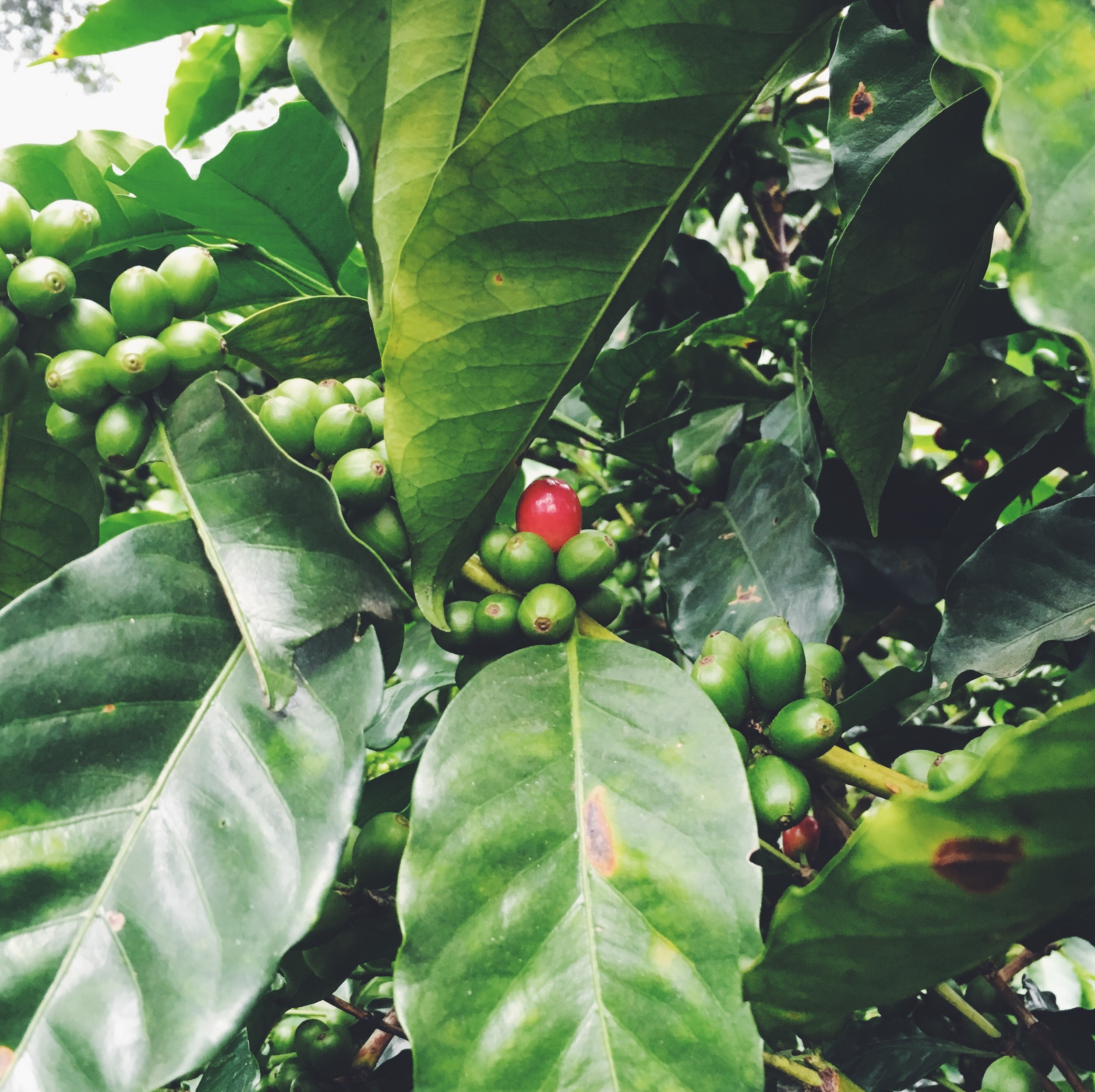 OBELO | Organic Coffee Farm
