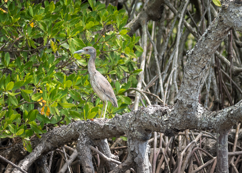 Immature Black-Crowned Night-Heron