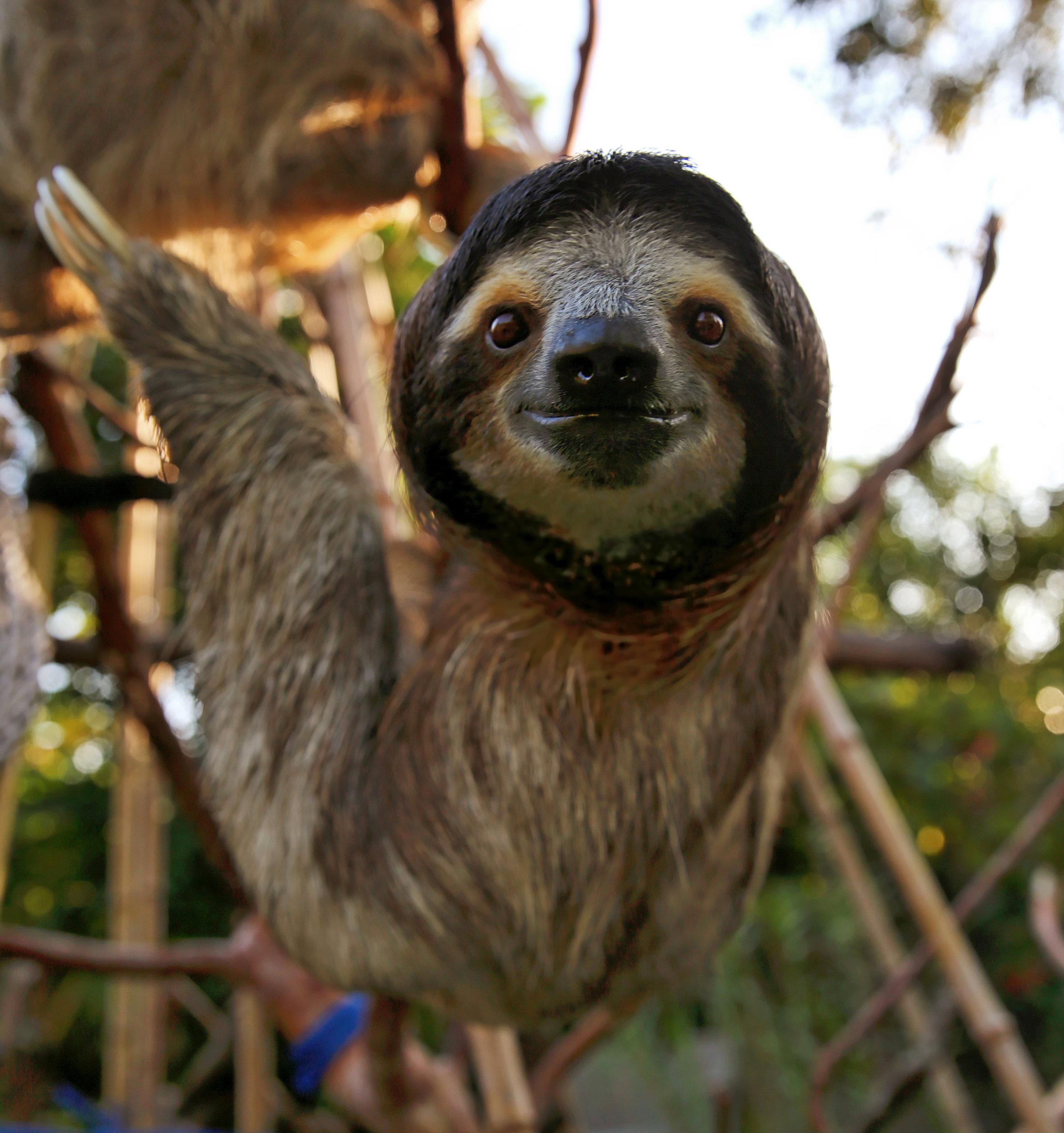 Curious Sloth. El Valle de Anton, Panama.