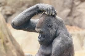 headscratching gorilla.jpg