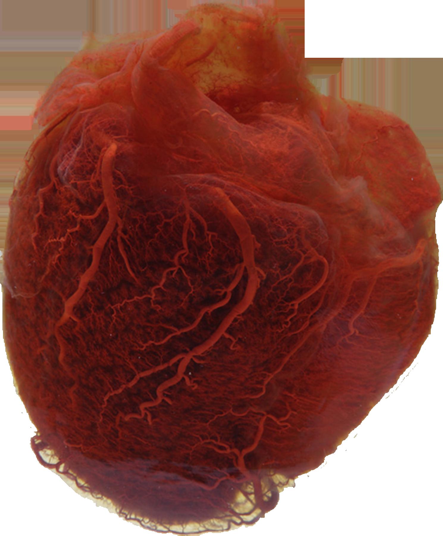 vasculatura del corazon.png