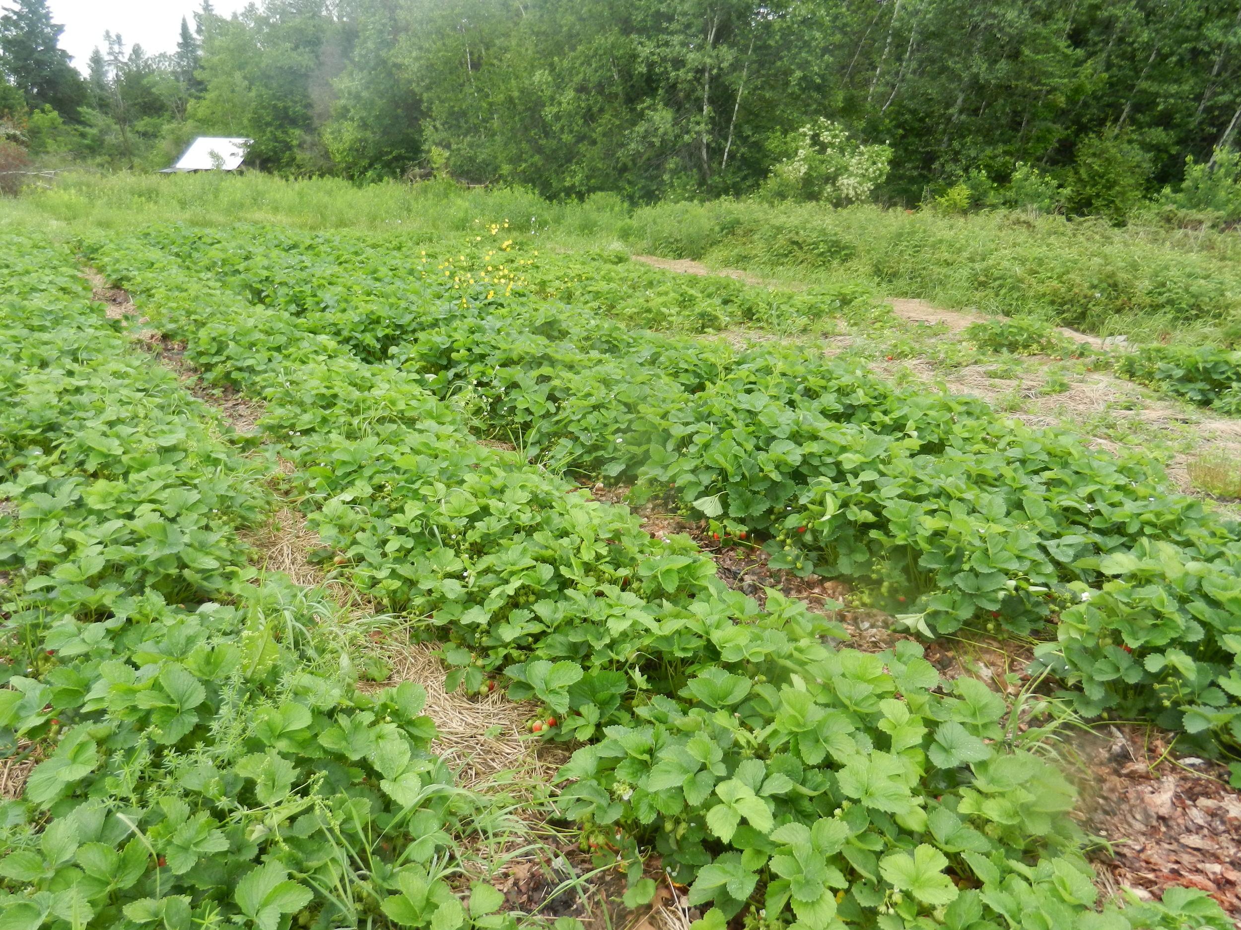 veg plots, Strawberries.JPG