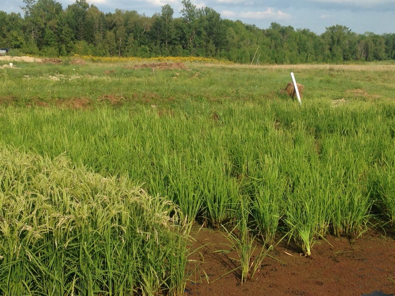 July - Direct seed Rice*.JPG