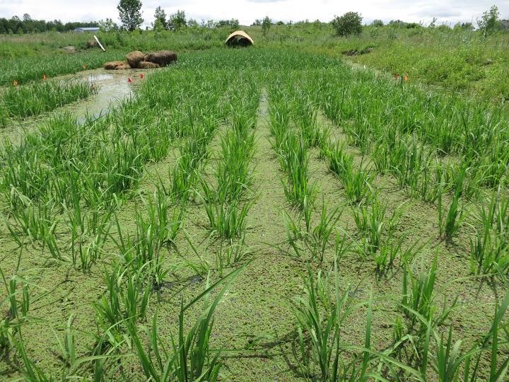 azolla rice medium distance.jpeg
