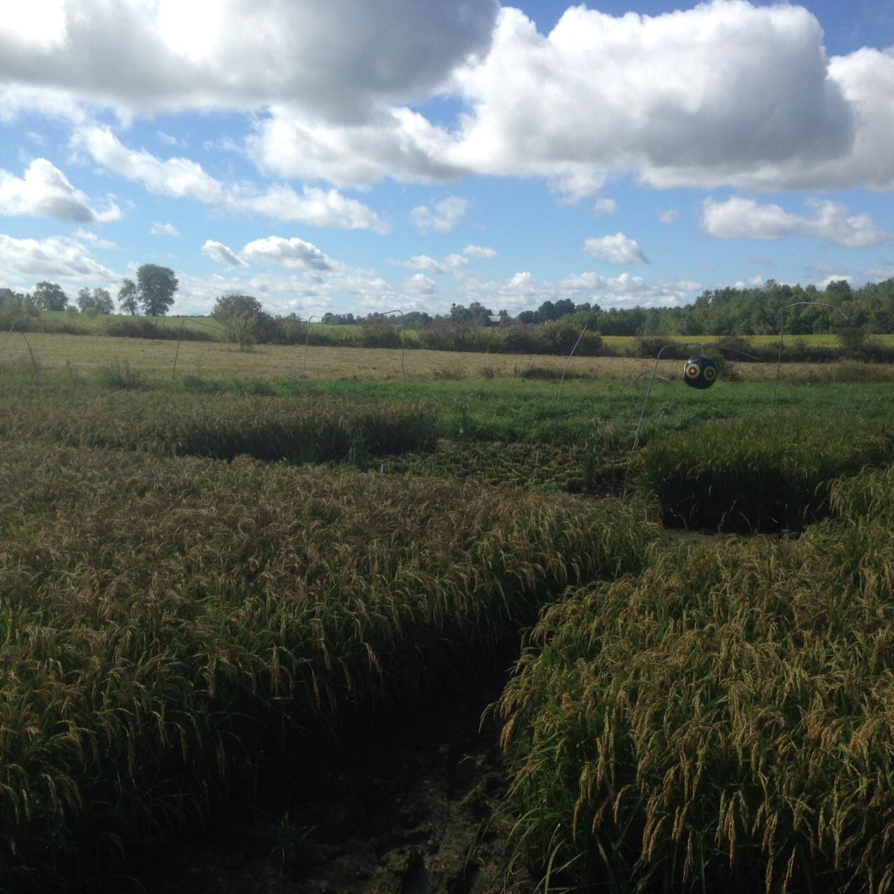 rice harvest started*.jpeg