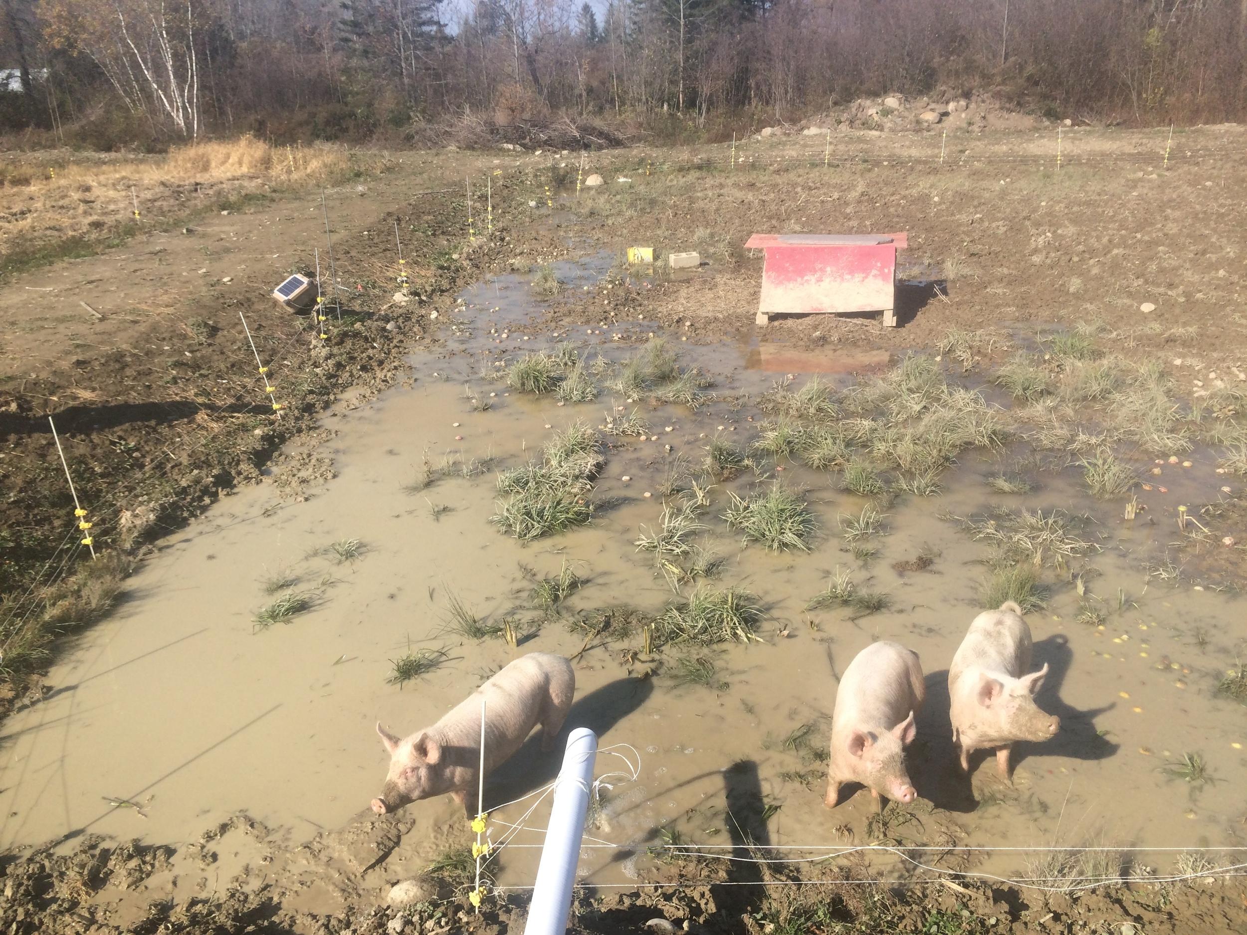 pigs paddy*.jpeg