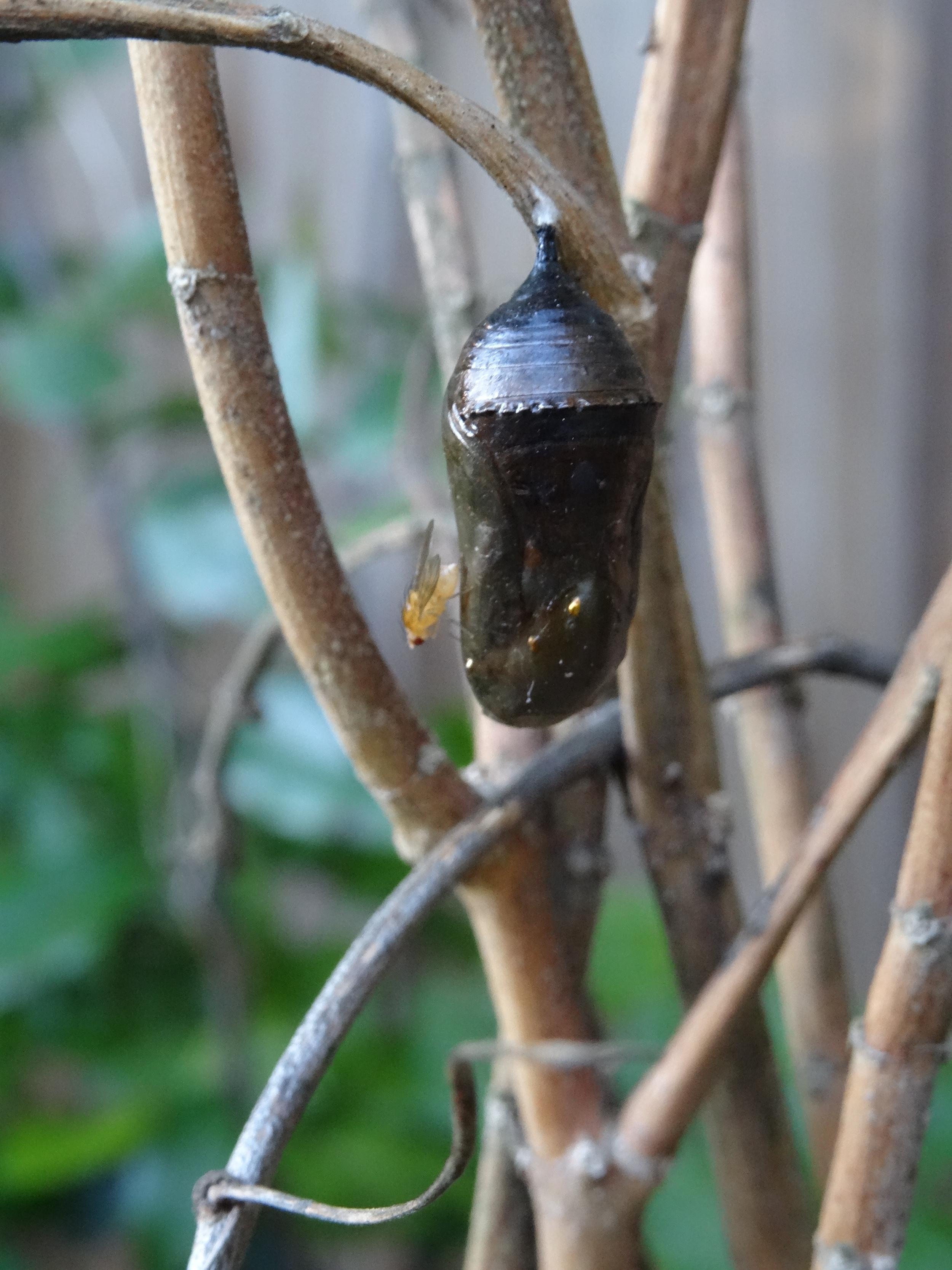 Monarch Butterfly,Black Death