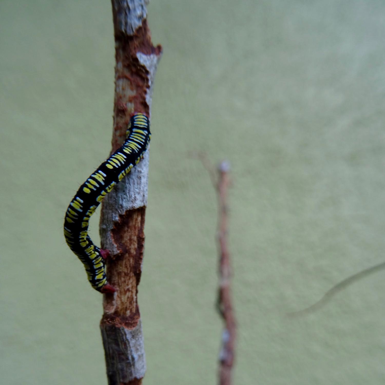 Snowbush Spanworm