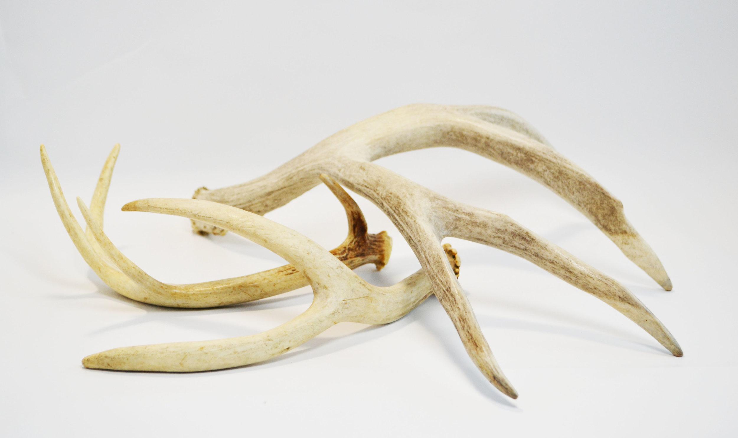 antlers   Quantity: 18  Price: $15.00