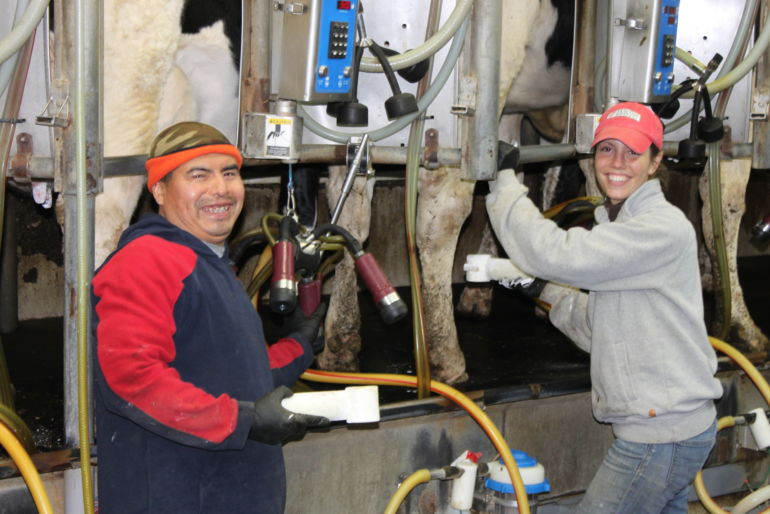 Nemo and Paige in the milking parlor. Our cows are milked twice a day.