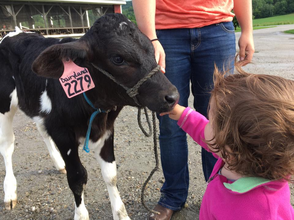 Dairyland the calf is eager for her parade debut