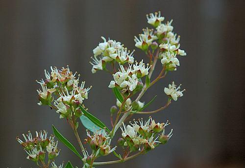 Flowers of Henna