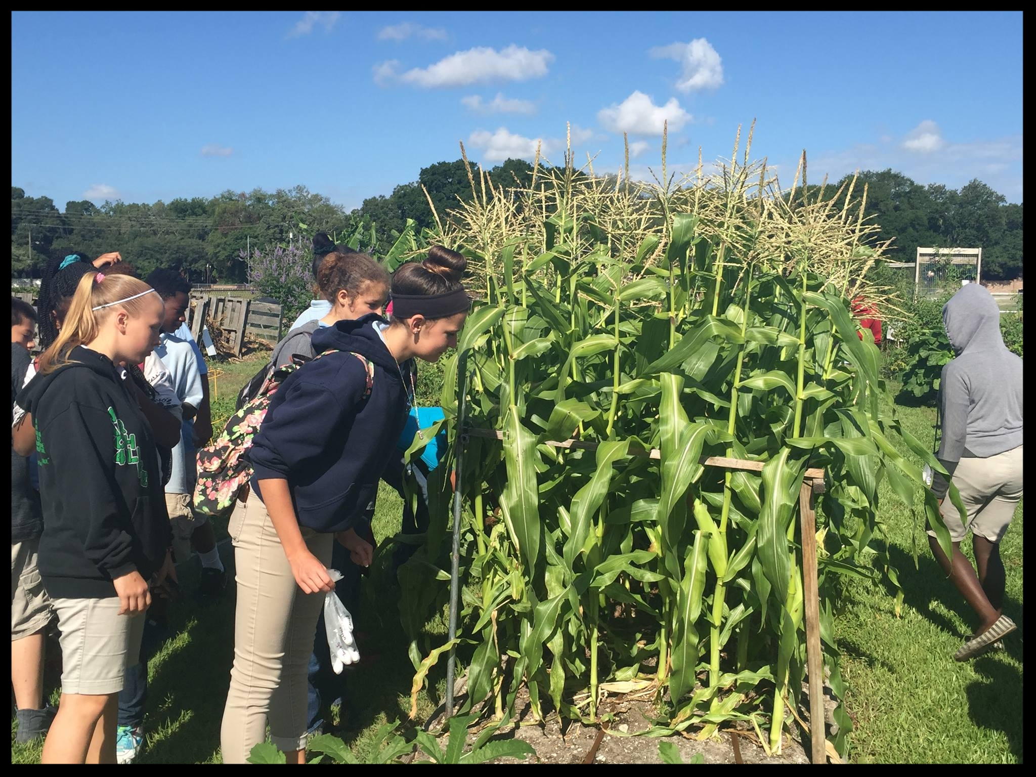 Visit to the garden by Greco students to learn about how corn is pollinated and grows on stalks.