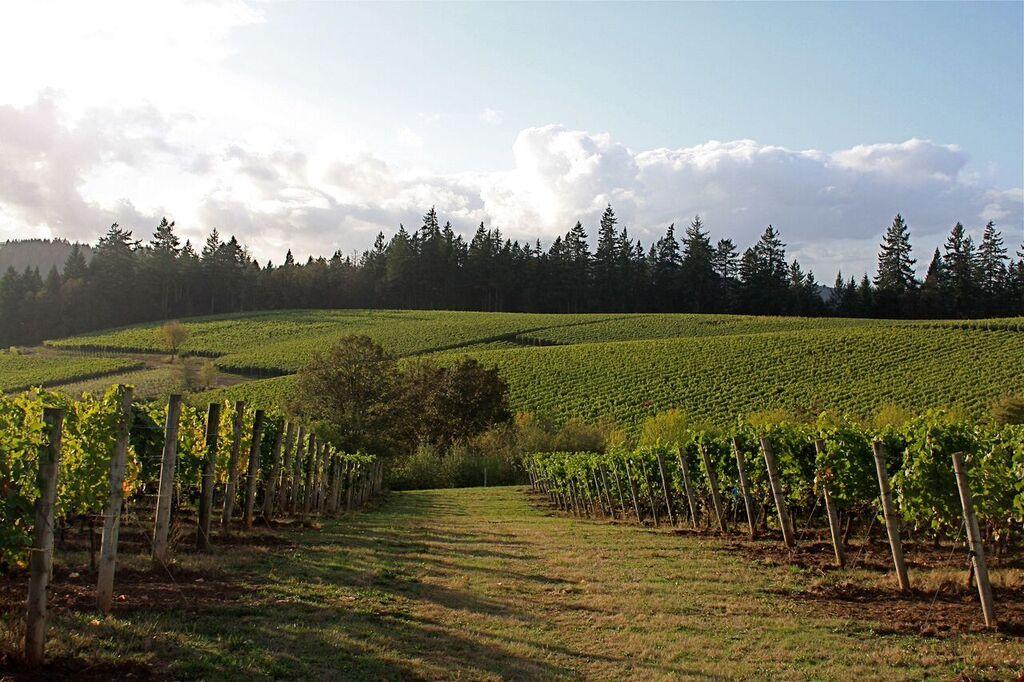 Estate Vineyard 2010 Harvest.jpg