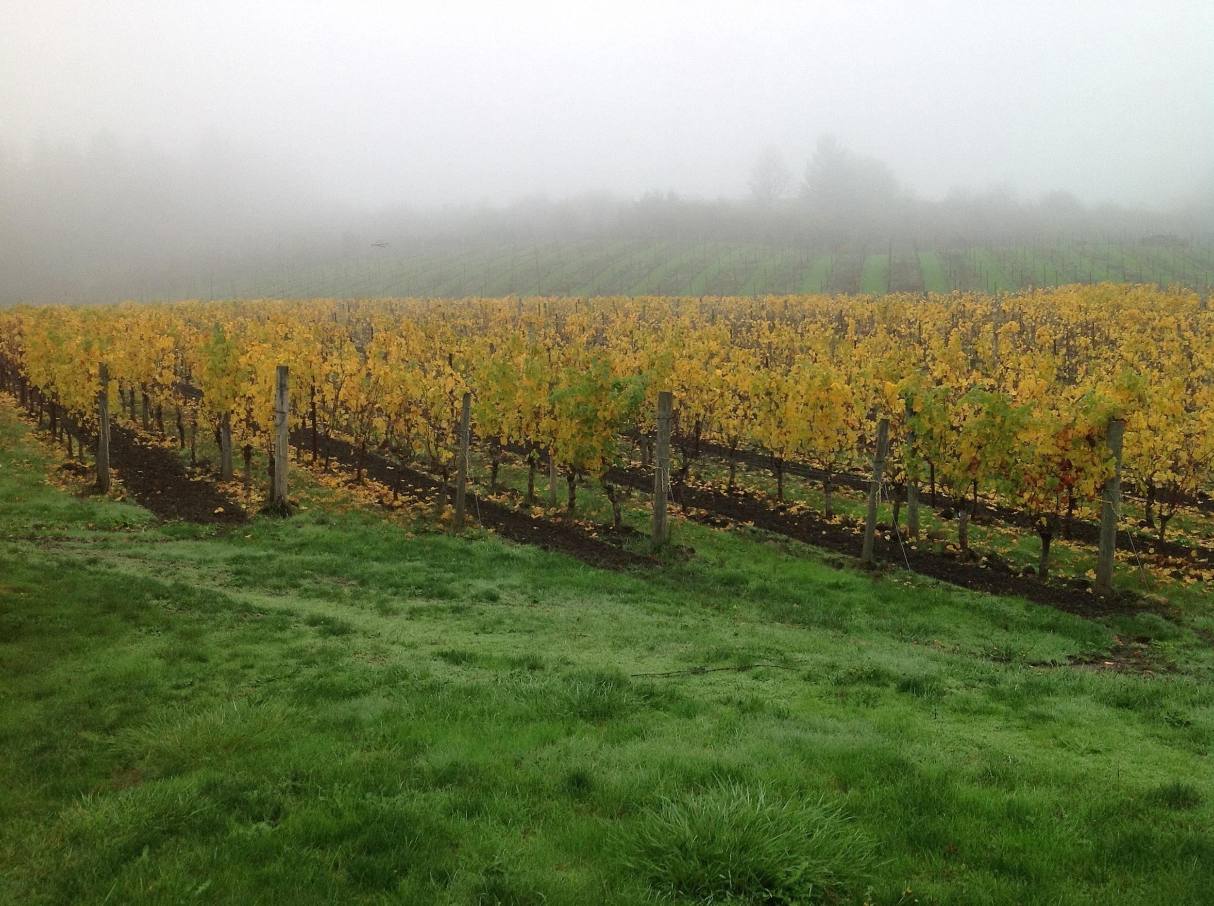 Estate vineyard fall.jpg