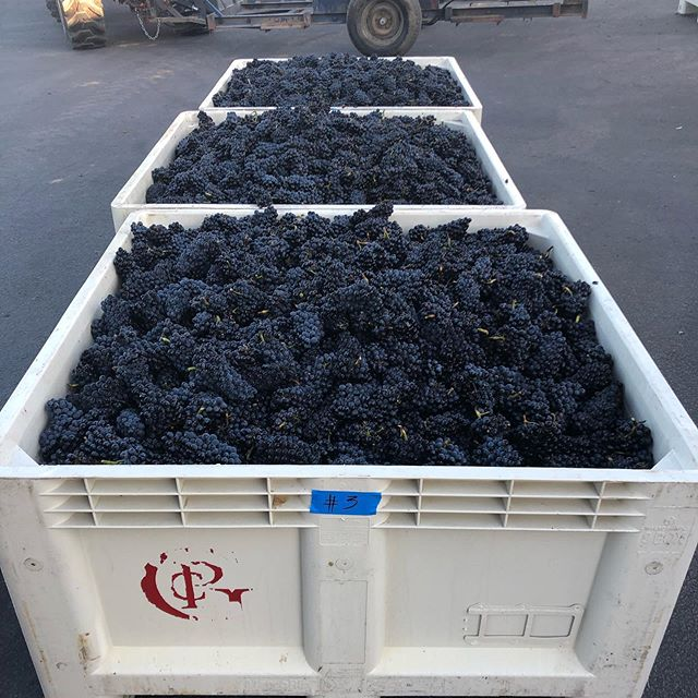 Off to the races! First day of 2019 harvest. Starting with Estate Vineyard, Etzel Block Pinot Noir. We will have a full day of fruit from 3 other vineyards as well, including some Chardonnay.