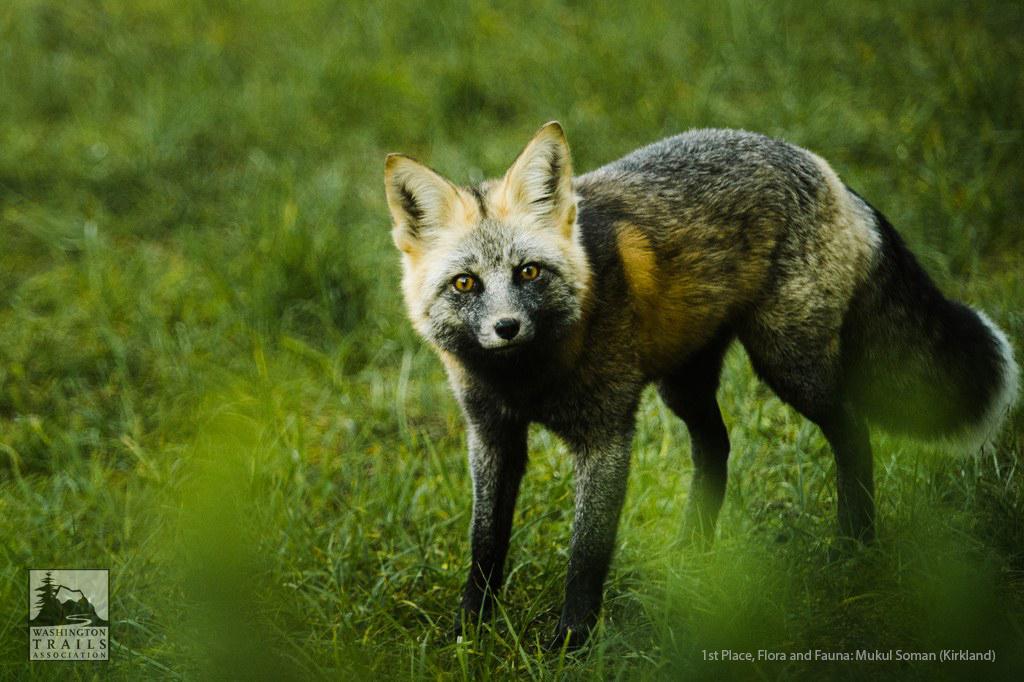 cascade-fox.jpg
