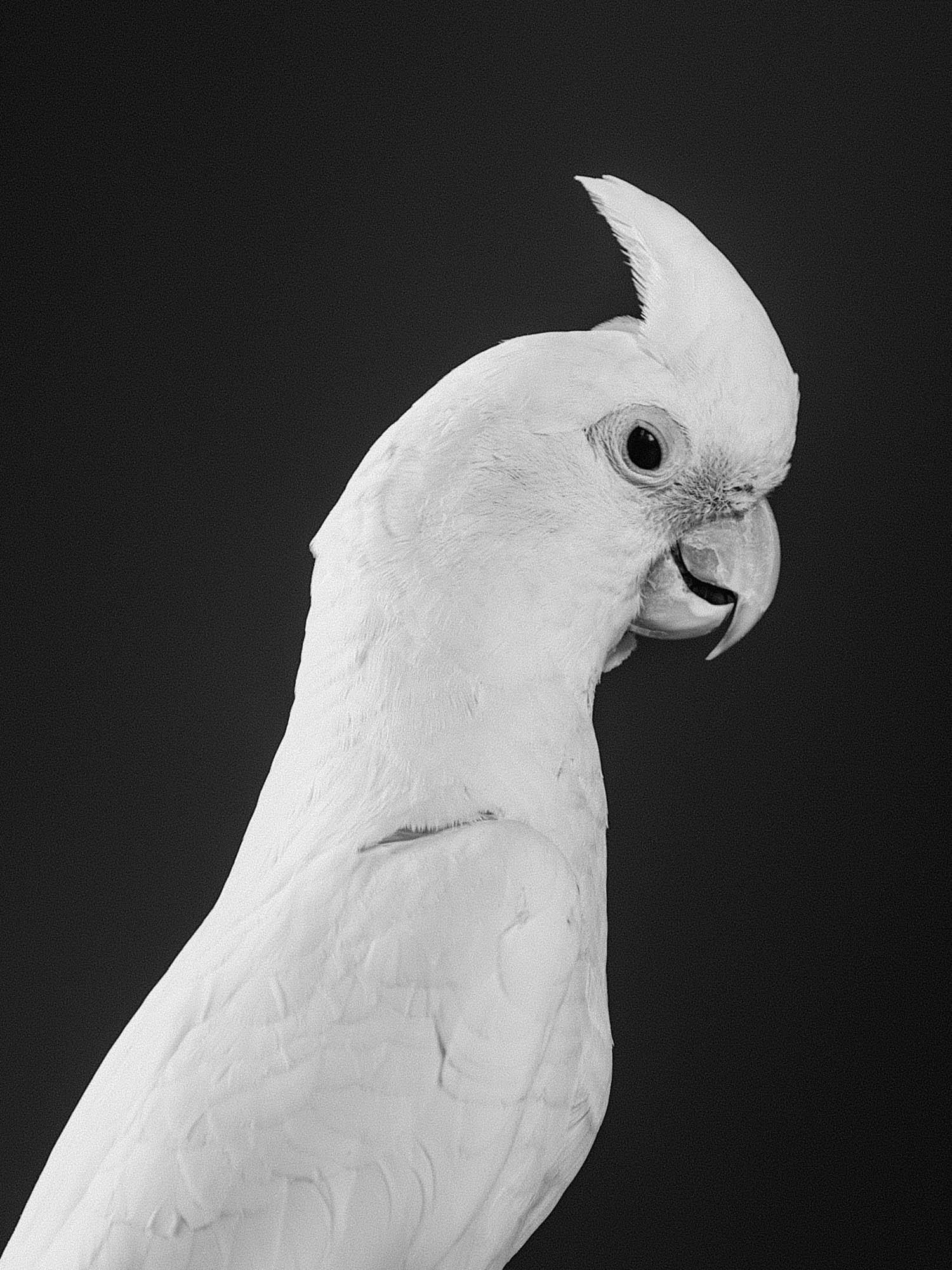 Cockatoo 3