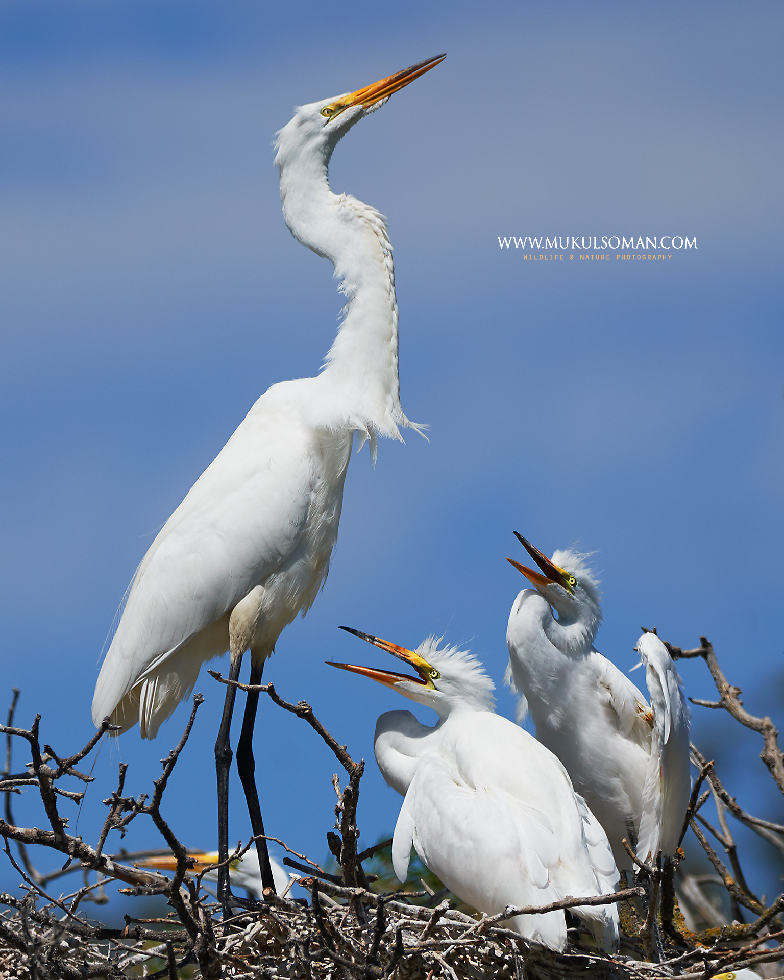 Great Egret mom and chicks.  Camera : Nikon D500 | Focal Length : 600mm | Exposure : 1/2000 | Aperture : f/9 | ISO : 400