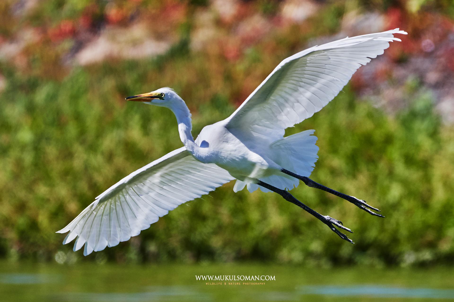 Great Egret in flight.  Camera : Nikon D500 | Focal Length : 600mm |Exposure : 1/2000 | Aperture : f/6.3 |ISO : 400