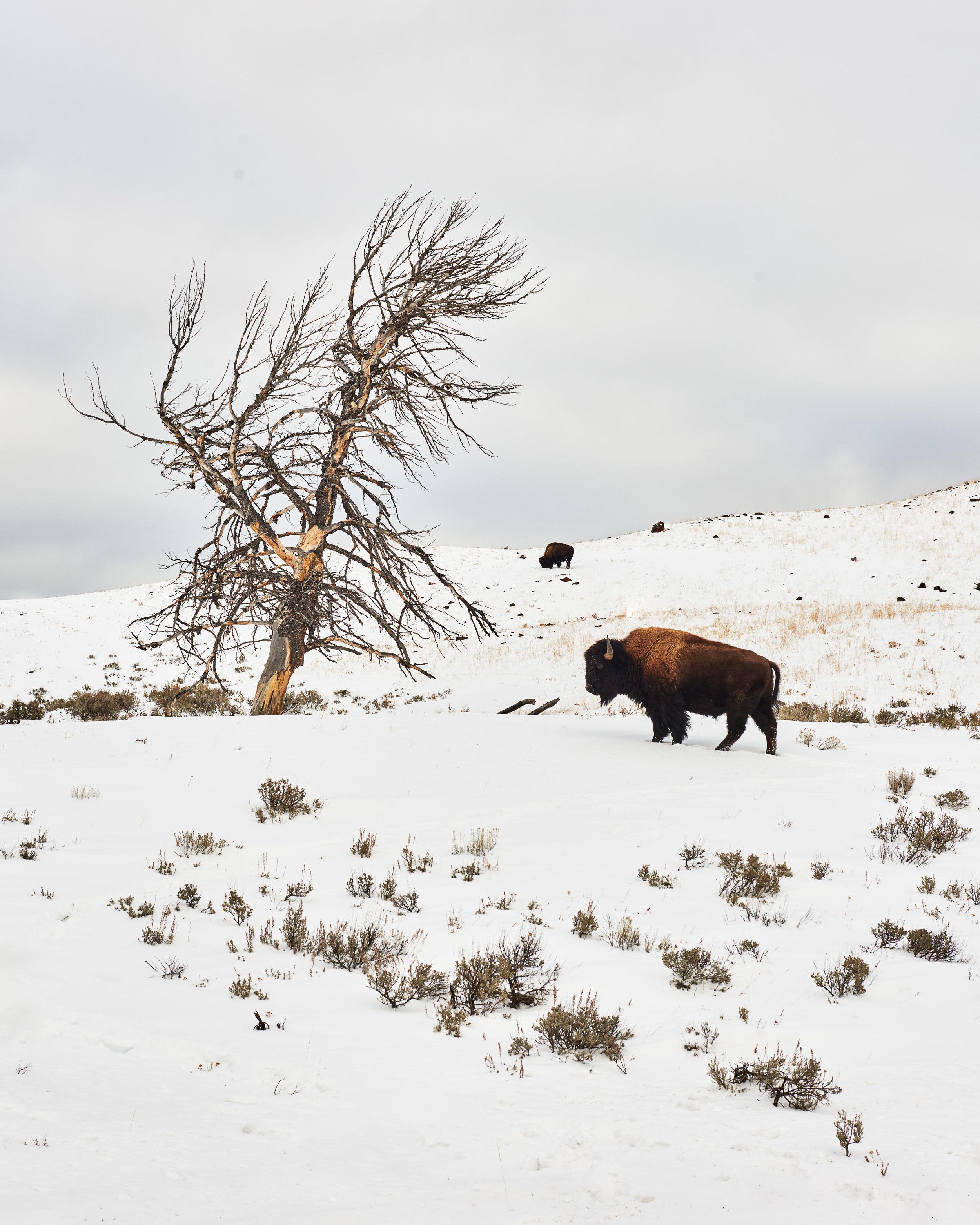 Bison & Tree