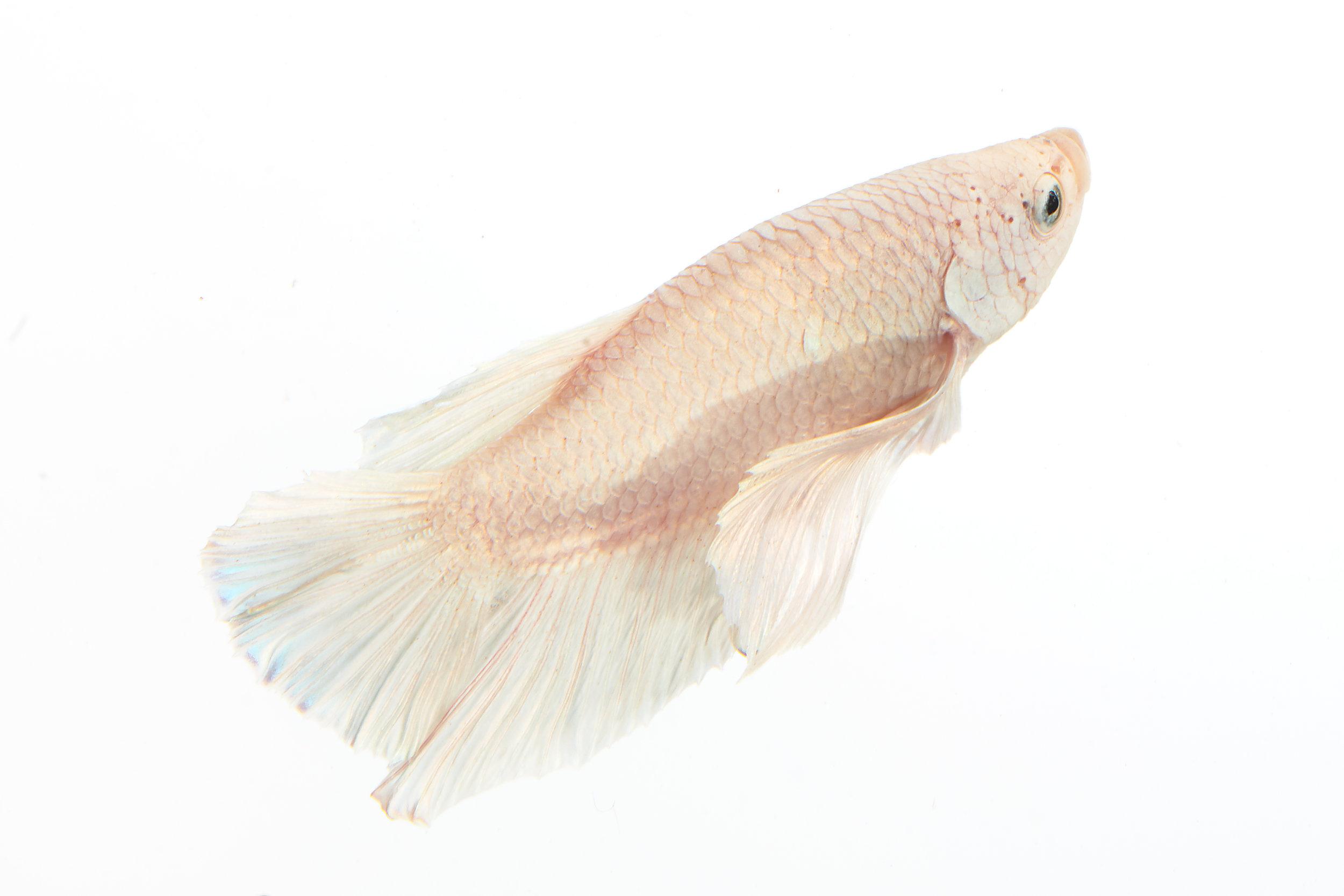 2019_Bettafish00087.jpg